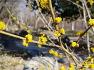 대구수목원 - 야생초화원에 나무잎을 씹으면 생강 냄새가 나고 꽃의 향기가 진한 생강나무,꽃,효능.유래.