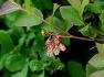 산앵도나무 Vaccinium hirtum var. koreanum