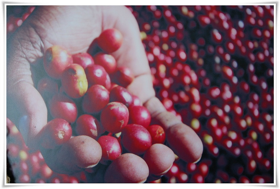 커피열매 사진