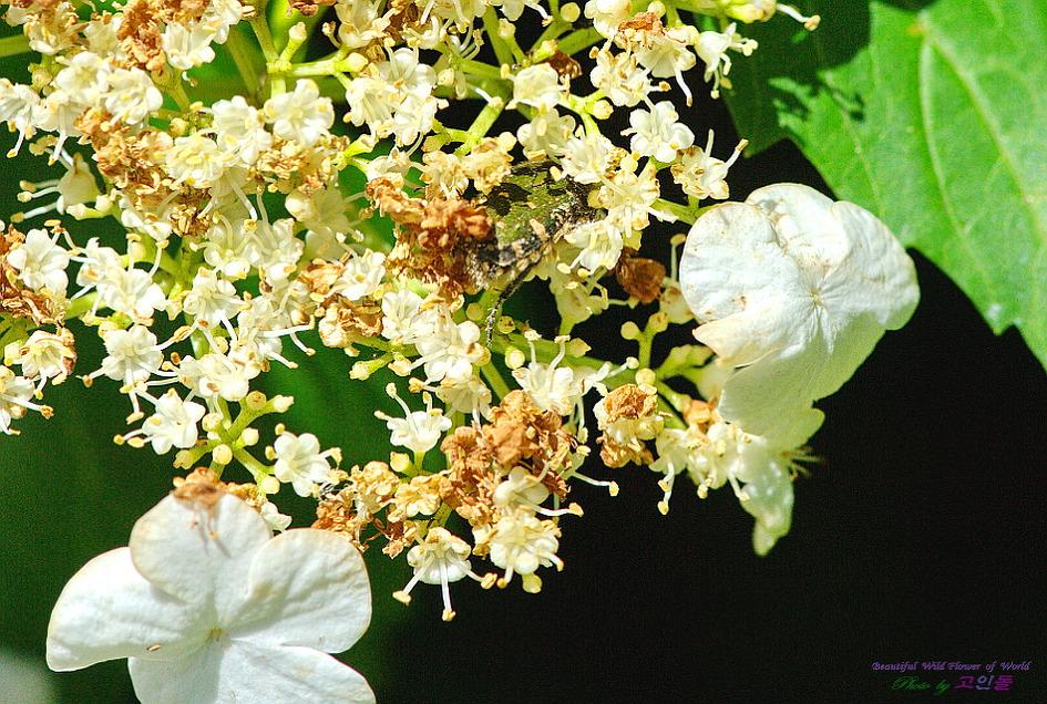 풀색꽃무지