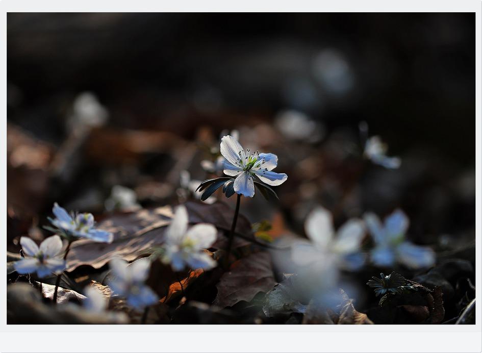소노골변산바람꽃